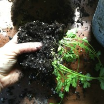 Handle little roots gently often you can split into multiple containers